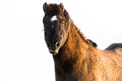 Isländisches Pferd lokalisiert auf Weiß stockbild