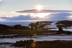 Isländisches Pferd mit Haus im Hintergrund Stockbilder