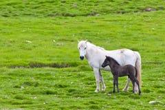 Isländisches Pferd mit ihrem Colt stockfotos