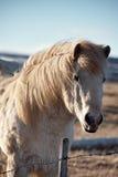Isländisches Pferd-portrat Stockfotos