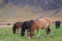 Isländisches Pferdeessen Stockfotos