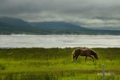 Isländisches Pferdegaloppieren lizenzfreies stockfoto
