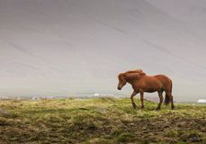 Isländisches rotes Pferd Lizenzfreie Stockbilder