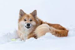 Isländsk fårhund i snö royaltyfri foto