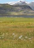 Isländsk fjord, Berufjordur, med bomullsgräs och en flock av sh Arkivfoto