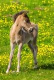 Isländsk häst Royaltyfri Fotografi
