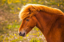 Isländsk häst Fotografering för Bildbyråer