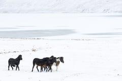 Isländsk häst royaltyfria foton
