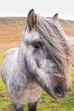 Isländsk häst Arkivbilder