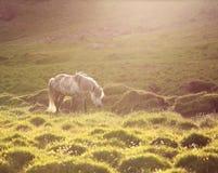 Isländsk häst Arkivfoton