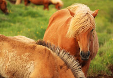 Isländsk häst Royaltyfri Foto
