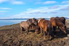 Isländsk häst Arkivbild