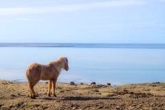 Isländsk häst Royaltyfria Bilder