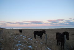 Isländsk häst Arkivfoto