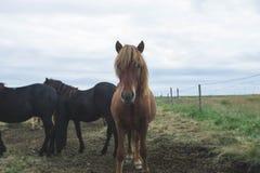 Isländsk häst Royaltyfri Bild