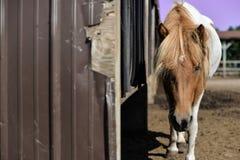 Isländsk häst i Wisconsin royaltyfria foton