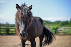 Isländsk häst i Wisconsin Arkivbilder