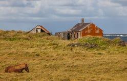Isländsk häst med den gamla övergav lantgården Arkivbilder