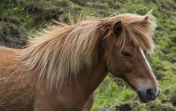 Isländsk häst med män Arkivbild