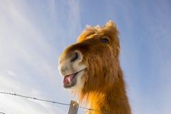 Isländsk häst på en solig dag med en klar blå himmel Arkivfoton