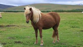 Isländsk häst som betar i fältet arkivfilmer
