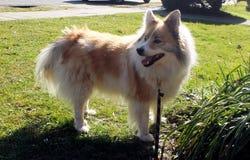Isländsk herdehund Arkivfoto