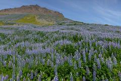 Isländsk landschap i sommartid Royaltyfria Bilder