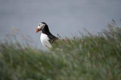 Isländsk lunnefågel som ser över havet Fotografering för Bildbyråer