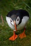 Isländsk lunnefågel som ser över havet Royaltyfria Bilder