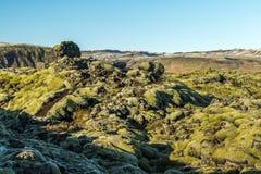 Isländsk Moss Arkivbild