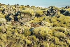 Isländsk Moss Arkivfoto