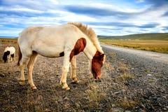 Isländsk ponny Fotografering för Bildbyråer