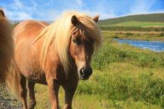 Isländsk ponny royaltyfri fotografi