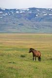 Isländsk ponny Royaltyfri Foto