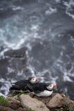 Isländsk puffin Arkivfoto