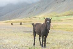 Isländsk vildhäst Arkivfoto