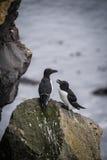 Isländska fåglar Arkivbilder