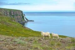 Isländska får royaltyfri foto