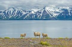 Isländska får arkivfoton