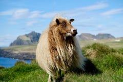 Isländska får Arkivbilder