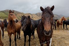 Isländska hästar Fotografering för Bildbyråer