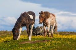 Isländska hästar Royaltyfri Bild
