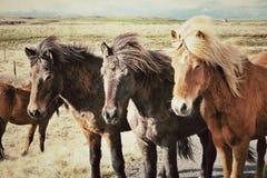 Isländska hästar Arkivfoto