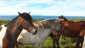 Isländska hästar royaltyfria bilder
