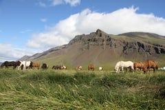 Isländska hästar Arkivbilder