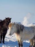 Isländska hästar Arkivfoton