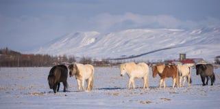 Isländska hästar Arkivbild