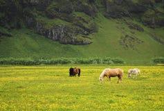 Isländska hästar Royaltyfri Fotografi