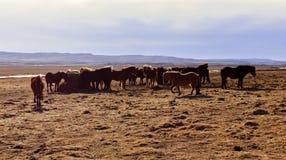 Isländska hästar royaltyfri foto