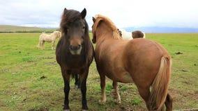 Isländska hästar betar på stock video